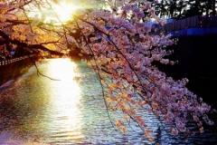 Shonan Sakura